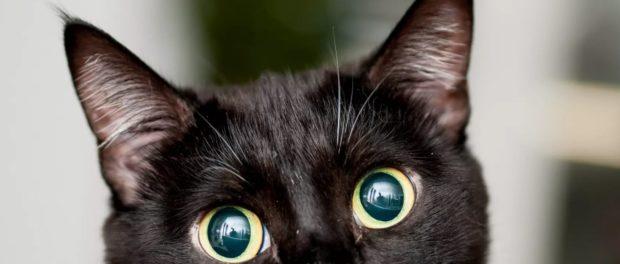 Chorny kot